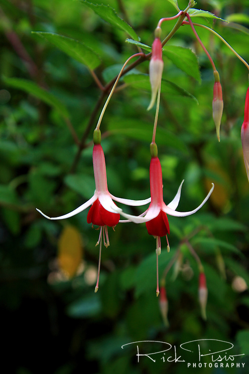 Hanging fuschia at Butchart Gardens in Victoria, British Columbia