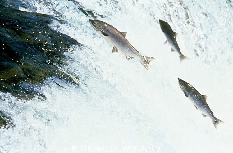 Sockeye salmon jump a waterfall on Brooks River on its migration to its spawning grounds in Katmai National Park, Alaska.