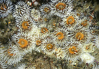 elegant anemone<br /> Sagartia elegans