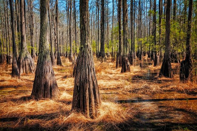 Pond Cypress in spring at Cathedral Bay Heritage Wildlife Preserve