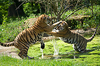 Moment two Longleat tiger cubs take part in a water fight has been caught on camera.