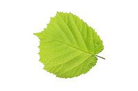 Gewöhnliche Hasel, Haselnuß, Haselnuss, Corylus avellana, Cob, Hazel, Coudrier, Noisetier commun. Blatt, Blätter, leaf, leaves