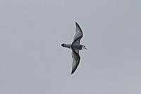 Antarctic Prion in flight