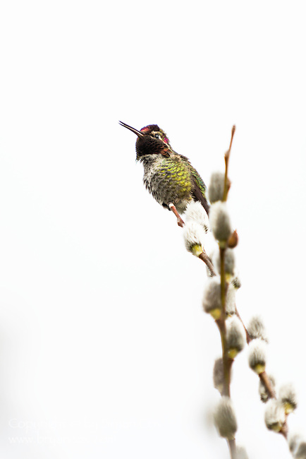 Anna's hummingbird, Fern Hill Wetlands, Oregon