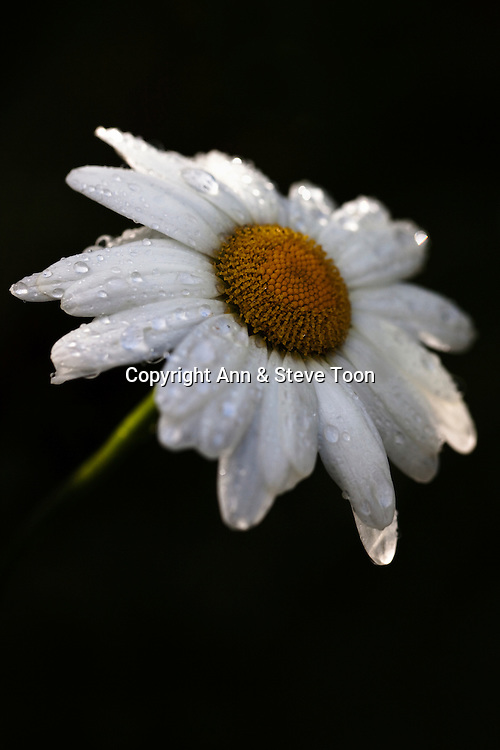 Cultivated daisy, in garden after rain, UK
