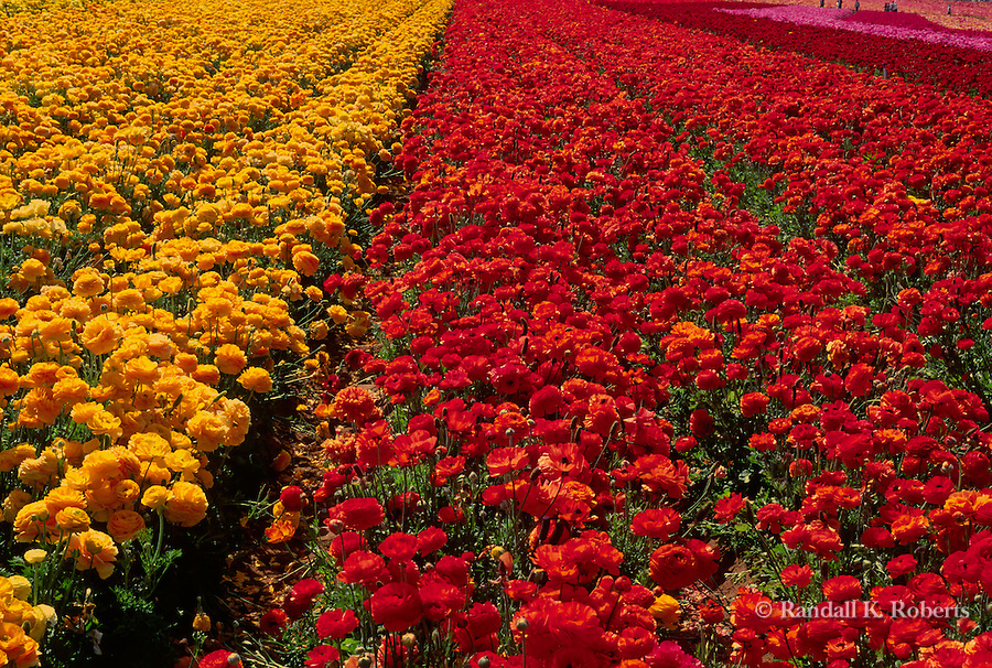 Field of yellow and red flowers extends into the horizon on sunny day.