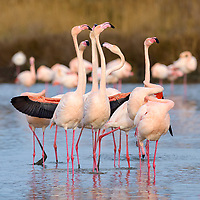 Greater flamingo (Phoenicopterus roseus), group courtship display, Camargue, Southern France, France, Europe