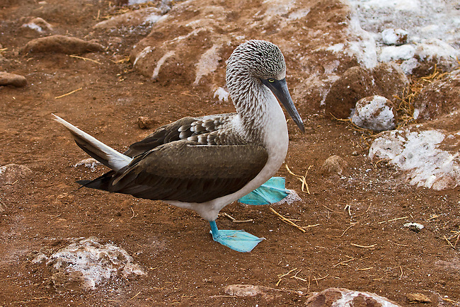 Blue-footed Booby strutting along in its typical clumbsy way, on the red sands of Rabida Island. One foot is off the ground and in process of taking the next step.