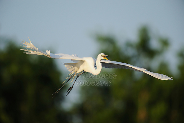 Great Egret ( Ardea alba),adult in flight, Fennessey Ranch, Refugio, Coastal Bend,Texas Coast, USA