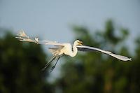 Great Egret ( Ardea alba),adult in flight, Fennessey Ranch, Refugio, Coastal Bend,Texas Coast, USA