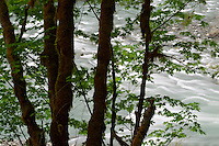 The Elwha flowing behind big leaf maple trees, Olympic National Park, Olympic Peninsula, Clallam County, Washington, USA