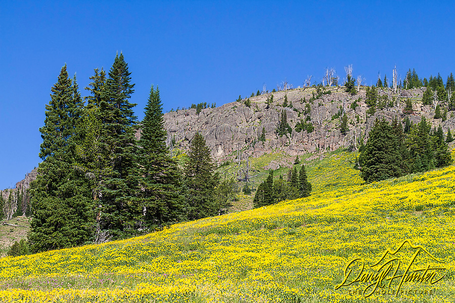 Dandelion bloom at Dunraven Pass in Yellowstone National Park.  We have some of the biggest, prettiest Dandelions in the country home so it is against the laws of Yellowstone to take them home.