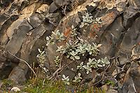 Iceland; Jokulsargljufur; Salix lanata; Thingeyjarsyslur; Woolly Willow