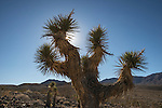 Joshua Tree enroute to the Racetrackk, Death Valley National Park, California