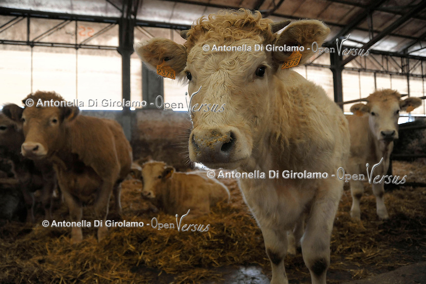 Azienda Agricola F.lli Ronca.Allevamento di vitelloni da carne. Incroci francesi. Produzione di biogas dalla digestione anaerobica delle deiezioni animali. Produzione di energia elettrica da combustione del biogas.<br /> Farm Ronca family.Breeding cows for meat. French intersections. Production of biogas from the anaerobic digestion of animal waste. Production of electricity from the combustion of biogas.