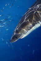 This great white shark [Carcharodon carcharias] was photographed off Guadalupe Island, Mexico..