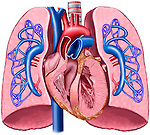 This labeled stock illustration reveals an anterior cut-away view of the heart and lungs revealing the Pulmonary Artery Circulation