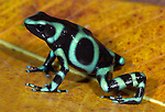 Green and black poison dart or arrow frog, Dendrobates auratus, Hacienda Baru, Costa Rica, tropical jungle, South America.Central America....