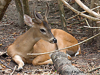 0528-1101  Central American White-tailed Deer, Belize, Male Deer with Velvet Antlers (antlers growing in soft cartilaginous state), Odocoileus virginianus truei  © David Kuhn/Dwight Kuhn Photography