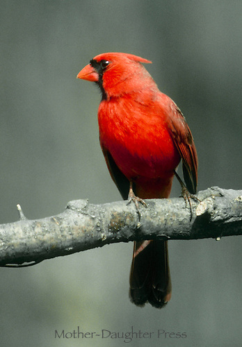 Alert Northern Male cardinal perching on branch in winter woodlands listening and attentive, Midwest USA