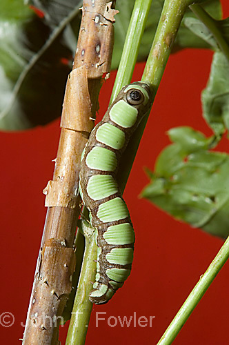 Larva of Abbott's Sphinx moth