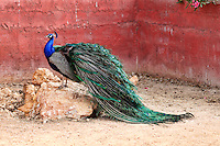 Beautiful Peacock in the zoo