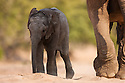Namibia;  Namib Desert, Skeleton Coast,  desert elephant (Loxodonta africana) female with calf walking in dry river bed