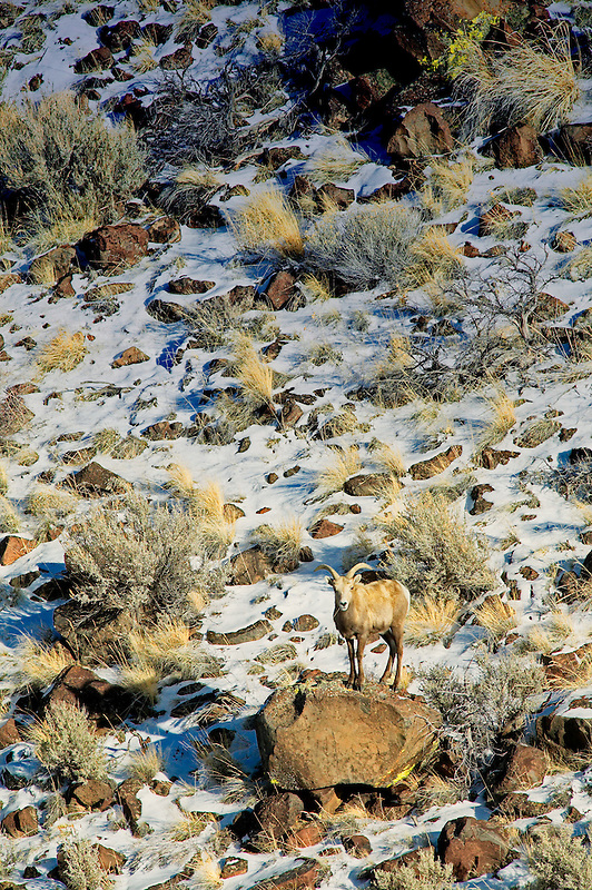 Big Horn Sheep in snow. Hart Mountain National Antelope Refuge, Oregon