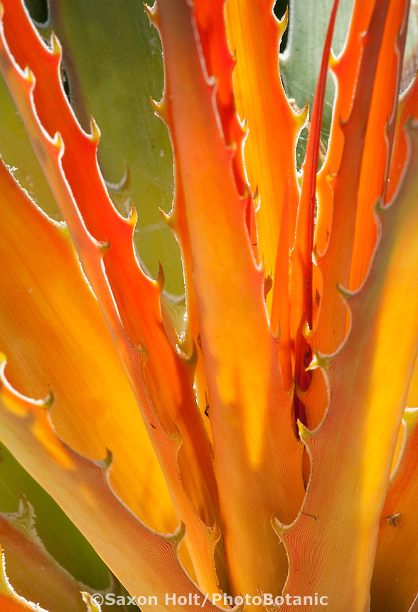 Backlit foliage of orange new leaf of bromeliad with toothed spines