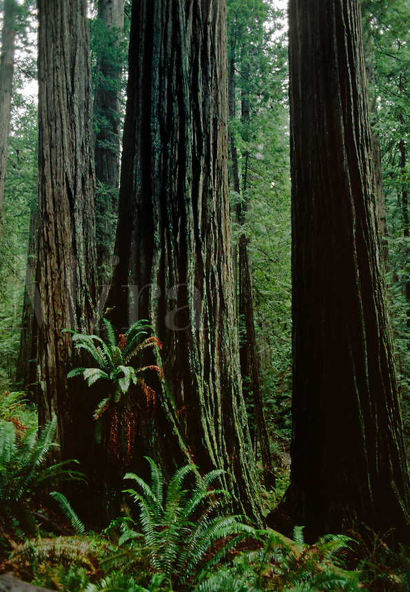 REDWOOD TREES grow to tremendous size in REDWOOD  NATIONAL PARK - CALIFORNIA