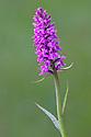 Broad-Leaved Marsh orchid {Dactylorhiza majalis} in flower. Nordtirol, Tirol, Austrian Alps, Austria, 1700 metres altitude, July.