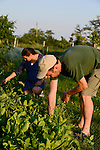 ROMANIA Banat, village Firiteaz, Bio Farmland, a farm run by swiss family / RUMAENIEN Banat, Firiteaz, BIO FARMLAND, betrieben von den Schweizer Einwanderern Familie Häni, Christian und Natascha Häni im Garten