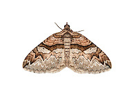 70.124 (1785)<br /> Barberry Carpet - Pareulype berberata