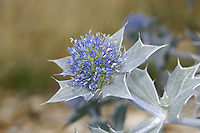 SEA-HOLLY Eryngium maritimum (Apiaceae) Height to 60cm<br /> Distinctive, hairless perennial of coastal shingle and sand. FLOWERS are blue and borne in globular umbels, up to 4cm long (Jul-Sep). FRUITS are bristly. LEAVES are waxy, blue-green and holly-like with spiny, white margins and white veins. STATUS-Widespread on the coasts of England, Wales and Ireland; absent from N and E Scotland.