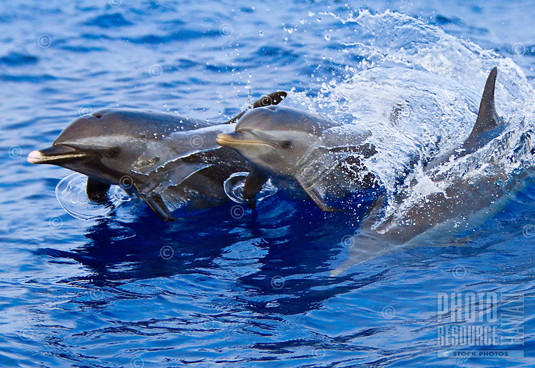 Pantropical spotted dolphins, Stenella attenuata, jumping out of boat wake, Kona Coast, Big Island.