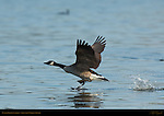 Canada Goose Landing, Sepulveda Wildlife Refuge, Southern California