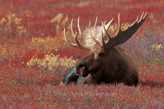 Bull Moose resting in the autumn tundra just before the rutt.