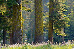 Sunlight on wildflowers and grass in mixed Conifer Forest at Dorst Creek, Sequoia National Park, California