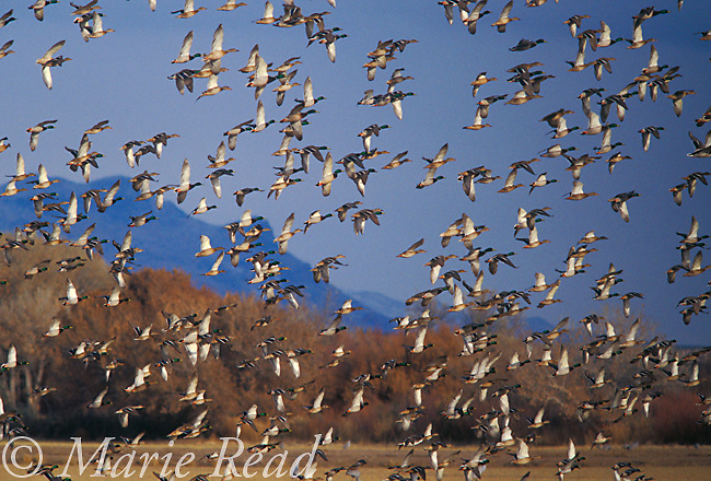 Mallard (Anas platyrhynchos) large flock in flight in winter, Bosque Del Apache Natinal Wildlife Refuge, New Mexico, USA<br /> Slide # B24-394