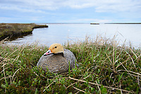Emperor Goose (Chen canagica) incubating eggs on the nest beside a tundra lake. Yukon Delta, Alaska. June.
