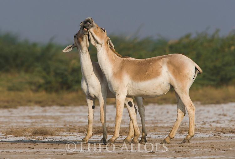 Indian wild asses playing (Equus hemionus khur), dry season