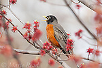 American Robin (Turdus migratorius), male singing from flowering red maple (Acer rubrum) in spring, Ithaca, New York, USA.