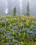 Mount Rainier National Park,  WA  <br /> Foggy meadow of alpine wildflowers and distant trees on Mazama Ridge