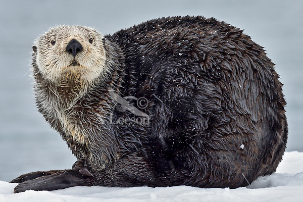 Adult Sea Otter (Enhydra lutris) on old, snow covered  boat dock,  Prince William Sound, Alaska.