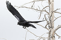 Common ravens are underrated subjects.