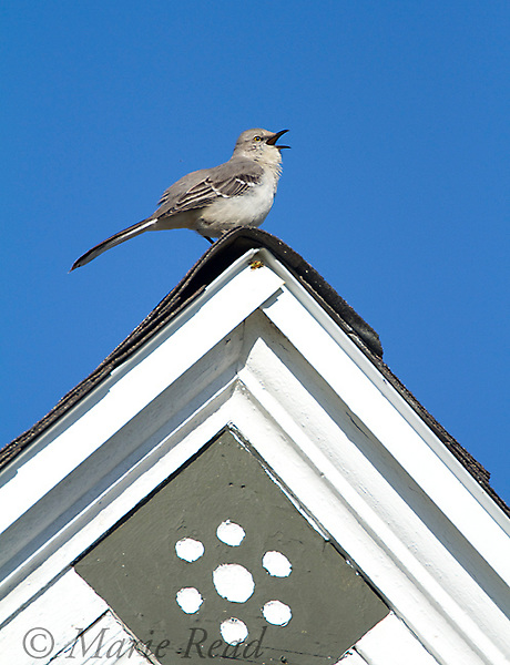 Northern Mockingbird (Mimus polyglottos), singing on top of roof in spring, Interlaken, New York, USA