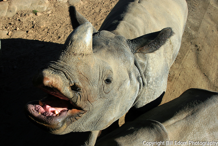 A White Rhinoceros with a big smile.