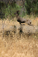 YOUNG MULE DEER BUCK LEAVING
