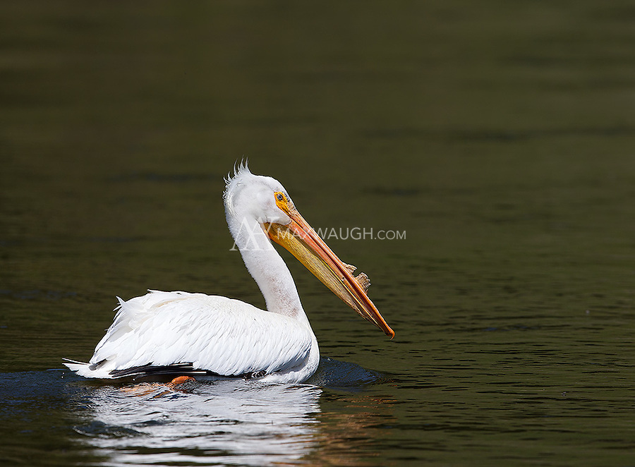 We photographed a lone pelican near the road on our way to the eastern Idaho refuges.