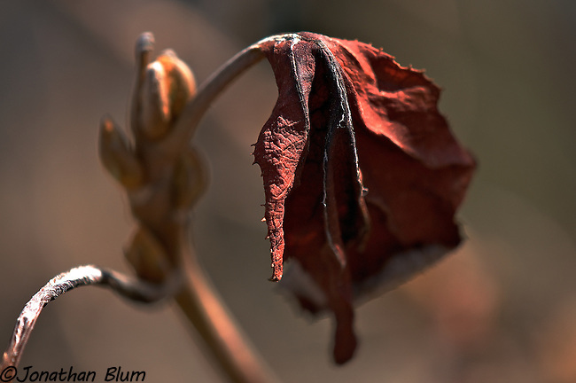 Dead Flower, Riverside Park, New York City